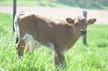 Maho's bull
